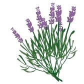 lavender-flower-clip-art-8096518-branch-of-lavender-violet-scented-beautiful-plant