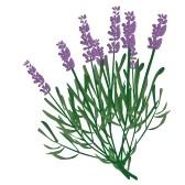 lavender-flower-clip-art-8096518-branch-of-lavender-violet-scented-beautiful-plant